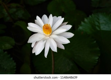White flowers meaning images stock photos vectors shutterstock white lotus flower growing in a pond the white lotus flower and pink lotus flower mightylinksfo