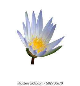 white lotus flower isolated on white background