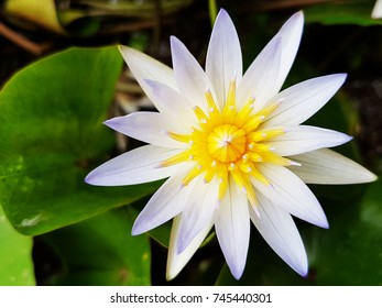 White Lotus flower with the morning light.