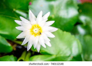 White Lotus flower on a background of leaves and water, closeup