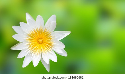 White lotus flower on green background