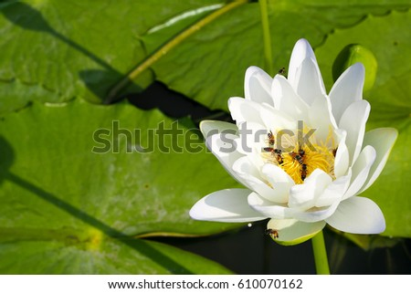 White Lotus Flower On Lake Close Beautiful Stock Photo Edit Now