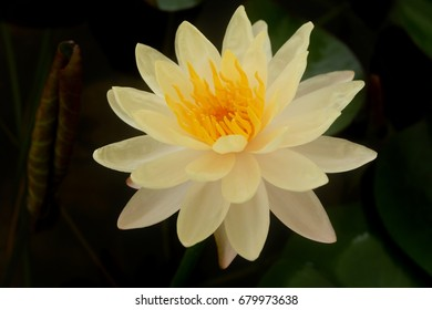 Lotus flower meaning images stock photos vectors shutterstock the white lotus flower and pink lotus flower are meaning purity and devotion mightylinksfo
