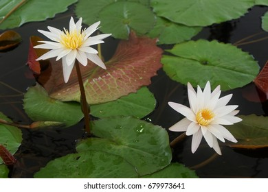 The white lotus flower and pink lotus flower are meaning purity and devotion.