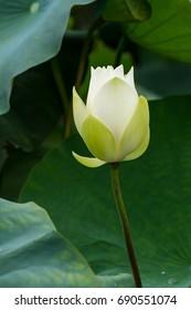 white lotus flower in pond