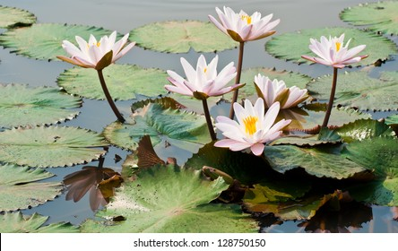 White lotus flower in a pond in natural light