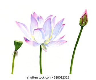White Lotus Flower with Seed Pod and Bud.  Watercolor painting, illustration, of a white tropical flower with a white background.
