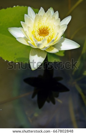 White lotus flower this color lotus stock photo edit now 667802848 white lotus flower this color lotus is known to symbolize bodhi and represents a state mightylinksfo