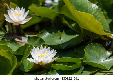 White lotus flowers blooming in spring among a crowd of green lily pads in a shallow pond.