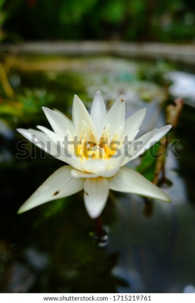 White lotus flowers have yellow stamens in the basin