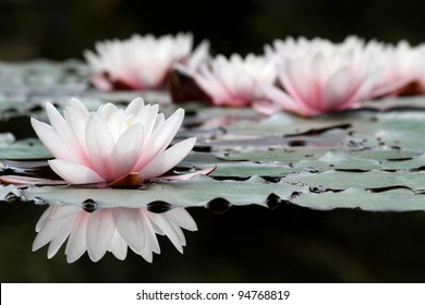 Royalty Free Lotus Flower Pond Images Stock Photos Vectors