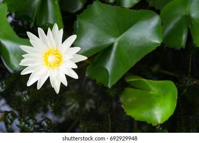 White lotus in the garden