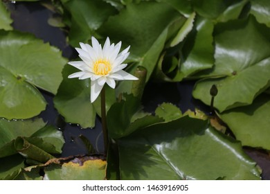 white lotus with green background