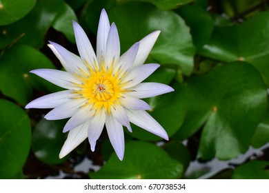 The white lotus has yellow stamens and lotus leaves in the water.