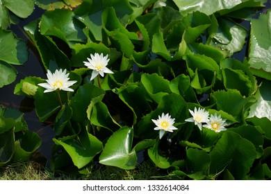 White lotus in the Lake lotus.