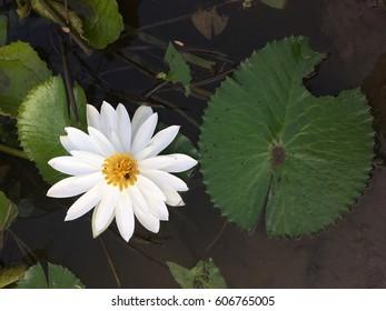 White lotus on the pool