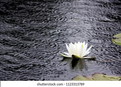 White lotus on surface of pond.