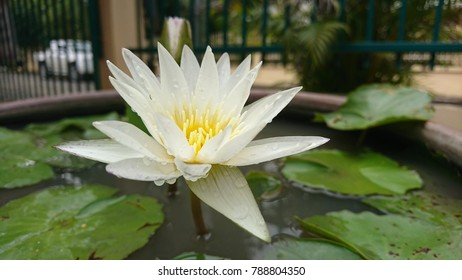 White lotus in the pond.