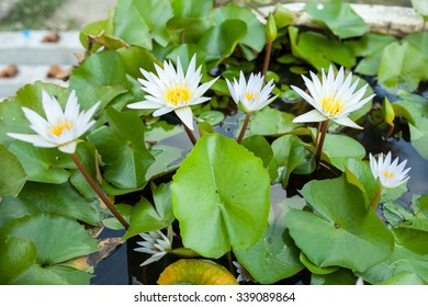 white lotus in the pool