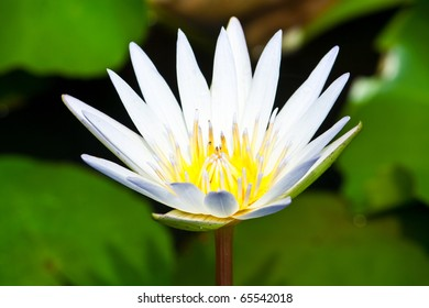 White Lotus from Thailand
