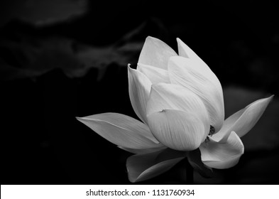 A white lotus that gives a feeling of gentleness and tranquility. The flowers used to worship the Buddha in Buddhism. Monochrome