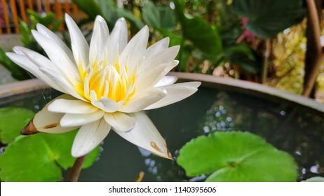 White lotus in the tub