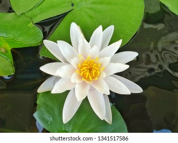 White lotus or water lilly floating on water