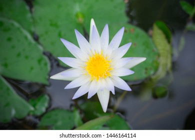 White lotus with yellow pollen on surface of pond