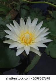 White Lotus Yellow Stamen Blooming Beautiful