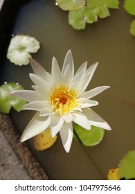 White lotus in yhe pond