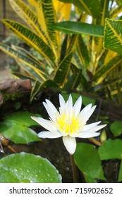 White lotus/water lily blooming in a small pond with lilypads and plants in background