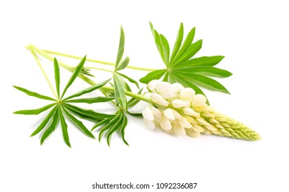 White Lupinus, commonly known as lupin or lupine. Isolated.