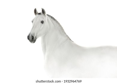 White lusitano horse in high key close up portrait