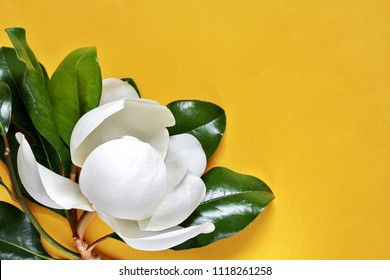white magnolia background. flowers for postcards. The southern flower of the evergreen magnolia tree. bright yellow background as a symbol of the southern sun.