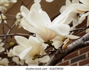 A white magnolia blossom
