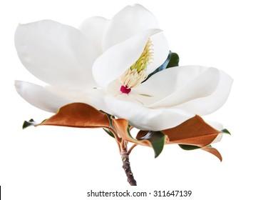 White Magnolia Blossom High Key Floral
