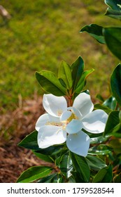 """White magnolia blossom. Southern magnolia, the """"Little Gem"""".  Beautiful white flower blooming in the garden. Copy space. Charlotte North Carolina, USA."""