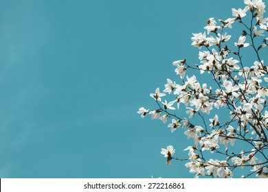 White Magnolia branch flowers, blue sky background.