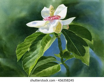 White Magnolia Flower 2 with Leaves. Watercolor painting of one white magnolia blossom on a stem with large leaves in shadow. Hand painted