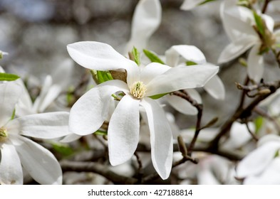 White magnolia flower against the sky close-up
