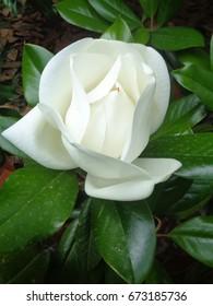 White magnolia flower among green leaves