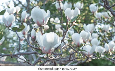 White Magnolia flower bloom on background of blurry white Magnolia flowers