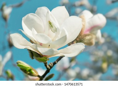 White Magnolia flower blooming on background of blurry white Magnolia on Magnolia tree.