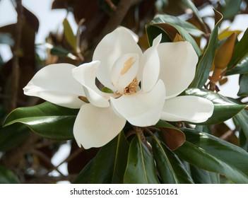A white magnolia flower with foliage surround