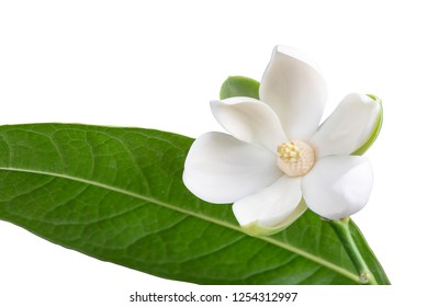 White magnolia flower and green leaf on isolated white background with clipping path.