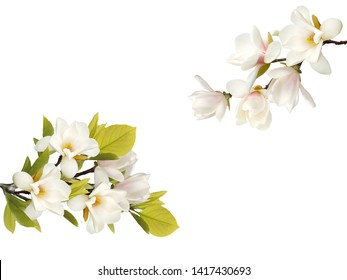 White magnolia flower isolated on white background.