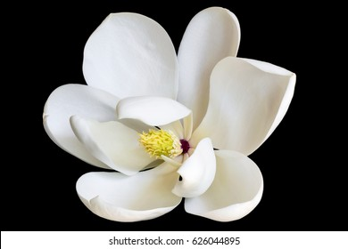 White magnolia flower isolated on black. Dwarf variety of evergreen magnolia grandiflora.