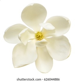 White magnolia flower isolated.  Top view.