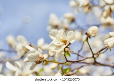 White magnolia flowering background. Botanical background. Magnolia blossom in the garden.