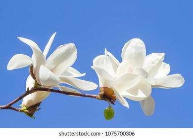 White magnolia flowers against the sky blue